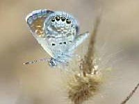 farfalla braephidium exile 200