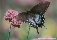 farfalla papillo troilus 200